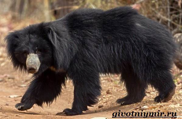 Губач-медведь-Образ-жизни-и-среда-обитания-медведя-губача-2