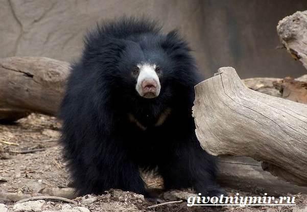 Губач-медведь-Образ-жизни-и-среда-обитания-медведя-губача-3