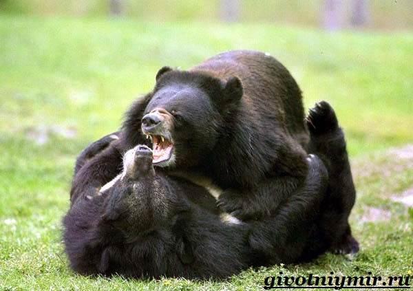 Губач-медведь-Образ-жизни-и-среда-обитания-медведя-губача-4