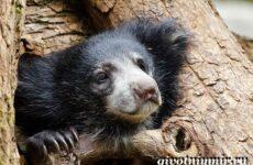 Губач медведь. Образ жизни и среда обитания медведя губача