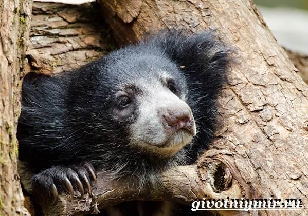 медведь губач. фото