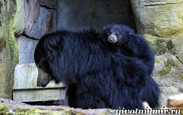 Губач-медведь-Образ-жизни-и-среда-обитания-медведя-губача-6
