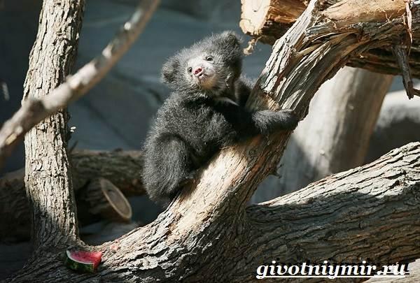 Губач-медведь-Образ-жизни-и-среда-обитания-медведя-губача-7