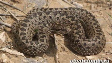 Гюрза змея. Образ жизни и среда обитания гюрзы