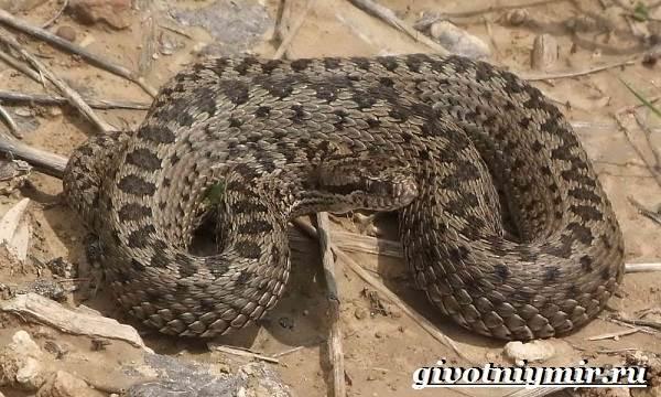 Гюрза-змея-Образ-жизни-и-среда-обитания-гюрзы-1