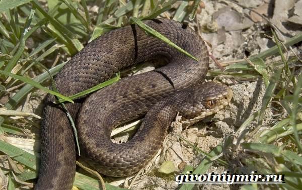 Гюрза-змея-Образ-жизни-и-среда-обитания-гюрзы-3