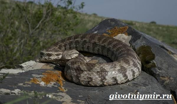 Гюрза-змея-Образ-жизни-и-среда-обитания-гюрзы-5