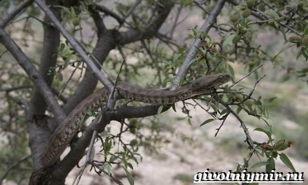 Гюрза-змея-Образ-жизни-и-среда-обитания-гюрзы-6