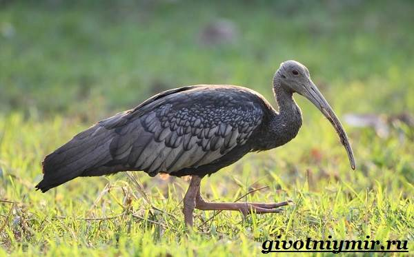 Ибис-птица-Образ-жизни-и-среда-обитания-птицы-ибис-1