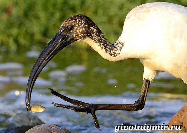 Ибис-птица-Образ-жизни-и-среда-обитания-птицы-ибис-2