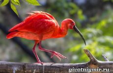 Ибис птица. Образ жизни и среда обитания птицы ибис