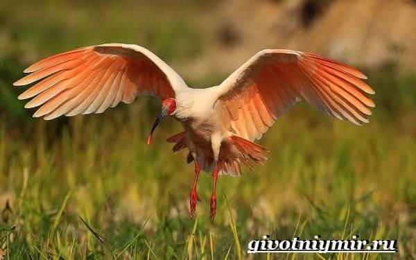 Ибис-птица-Образ-жизни-и-среда-обитания-птицы-ибис-5