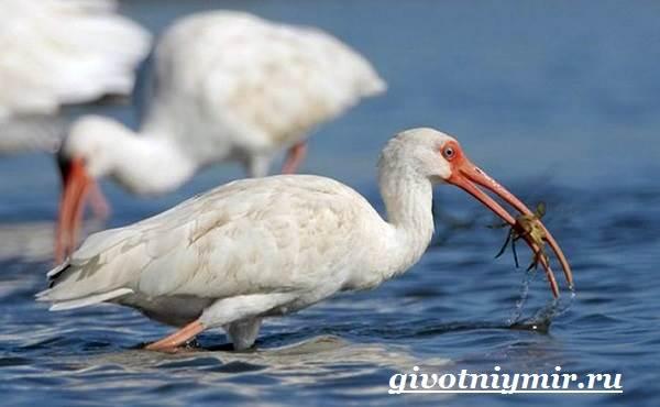 Ибис-птица-Образ-жизни-и-среда-обитания-птицы-ибис-7