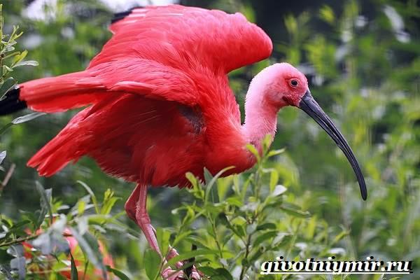 Ибис-птица-Образ-жизни-и-среда-обитания-птицы-ибис-8
