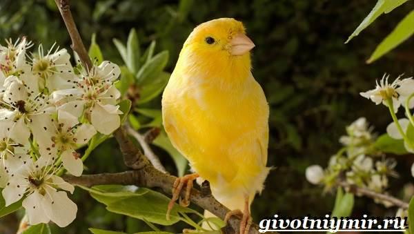 Канарейка-птица-Образ-жизни-и-среда-обитания-канарейки-1
