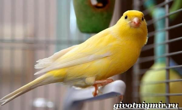 Канарейка-птица-Образ-жизни-и-среда-обитания-канарейки-2