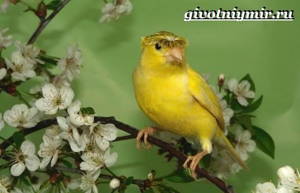 Канарейка-птица-Образ-жизни-и-среда-обитания-канарейки-3