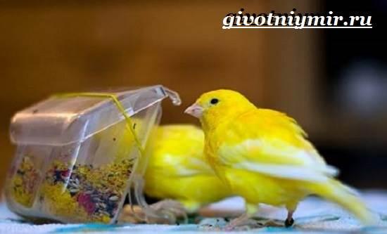 Канарейка-птица-Образ-жизни-и-среда-обитания-канарейки-4