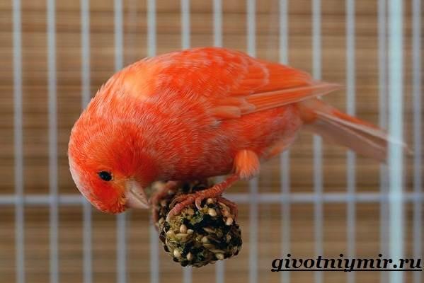 Канарейка-птица-Образ-жизни-и-среда-обитания-канарейки-5