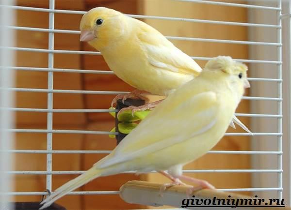 Канарейка-птица-Образ-жизни-и-среда-обитания-канарейки-6