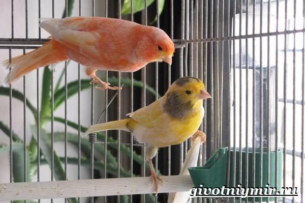 Канарейка-птица-Образ-жизни-и-среда-обитания-канарейки-7