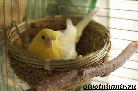 Канарейка-птица-Образ-жизни-и-среда-обитания-канарейки-8