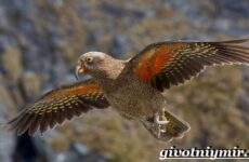 Кеа попугай. Образ жизни и среда обитания попугая кеа