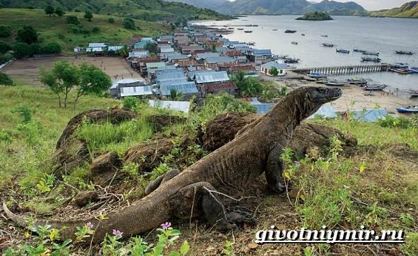 Комодский-варан-Образ-жизни-и-среда-обитания-комодского-варана-2