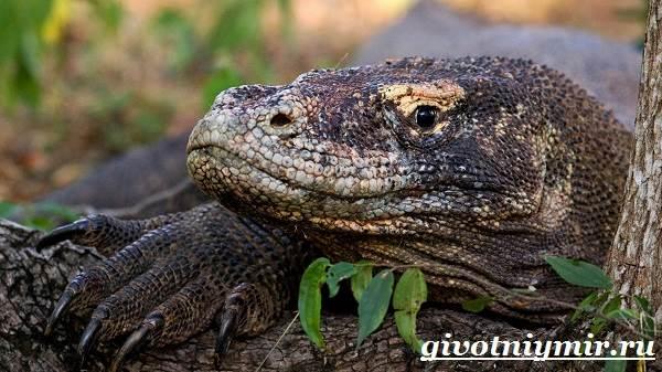 Комодский-варан-Образ-жизни-и-среда-обитания-комодского-варана-4