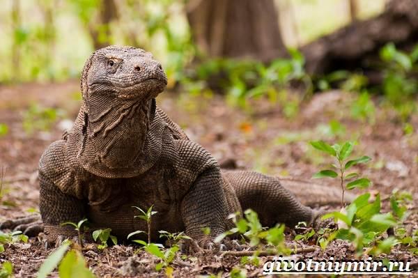 Комодский-варан-Образ-жизни-и-среда-обитания-комодского-варана-6
