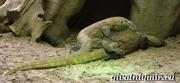 Комодский-варан-Образ-жизни-и-среда-обитания-комодского-варана-8
