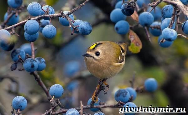 Королек-птица-Образ-жизни-и-среда-обитания-птицы-королек-1