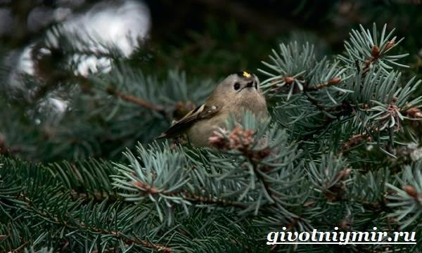 Королек-птица-Образ-жизни-и-среда-обитания-птицы-королек-10