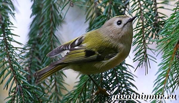 Королек-птица-Образ-жизни-и-среда-обитания-птицы-королек-2