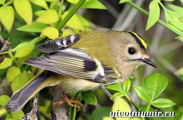 Королек-птица-Образ-жизни-и-среда-обитания-птицы-королек-3
