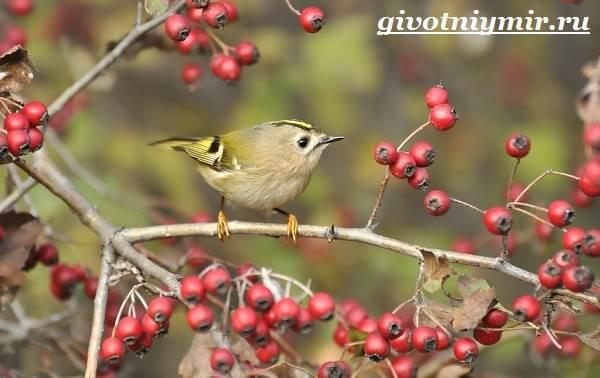 Королек-птица-Образ-жизни-и-среда-обитания-птицы-королек-4