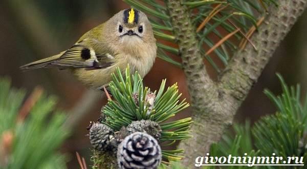 Королек-птица-Образ-жизни-и-среда-обитания-птицы-королек-5