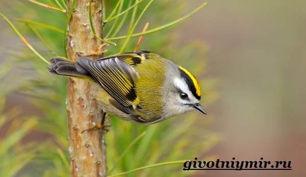 Королек-птица-Образ-жизни-и-среда-обитания-птицы-королек-6
