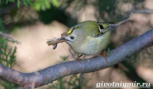 Королек-птица-Образ-жизни-и-среда-обитания-птицы-королек-7