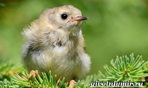 Королек-птица-Образ-жизни-и-среда-обитания-птицы-королек-9