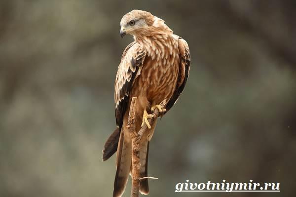 Коршун-птица-Образ-жизни-и-среда-обитания-коршуна-2