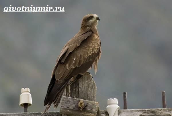 Коршун-птица-Образ-жизни-и-среда-обитания-коршуна-7