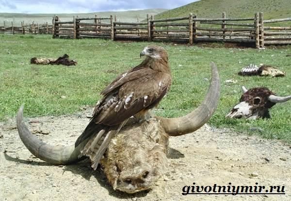 Коршун-птица-Образ-жизни-и-среда-обитания-коршуна-8