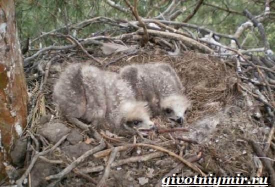 Коршун-птица-Образ-жизни-и-среда-обитания-коршуна-9