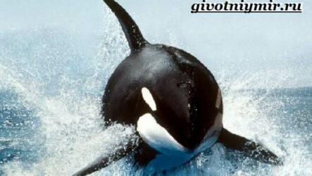 Косатка кит. Образ жизни и среда обитания косатки