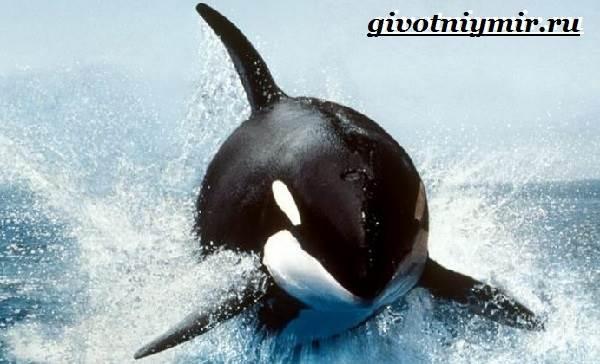 Косатка-кит-Образ-жизни-и-среда-обитания-косатки-1