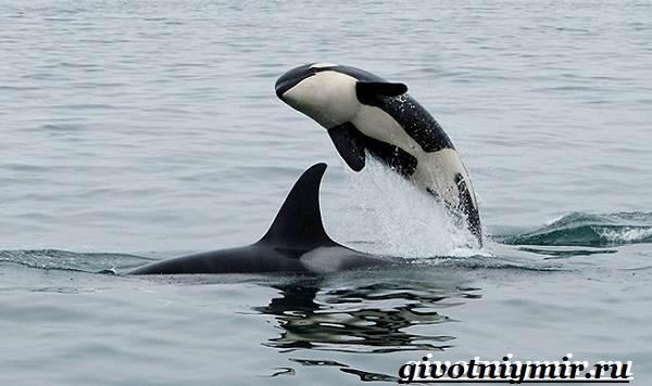 Косатка-кит-Образ-жизни-и-среда-обитания-косатки-6