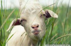 Коза животное. Образ жизни, среда обитания и уход за козой