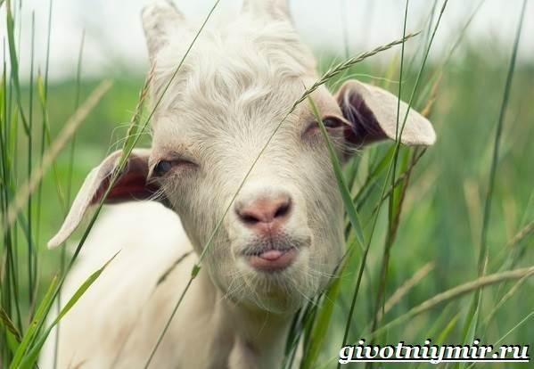 Коза-животное-Образ-жизни-среда-обитания-и-уход-за-козой-1