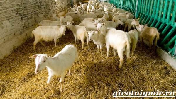 Коза-животное-Образ-жизни-среда-обитания-и-уход-за-козой-10